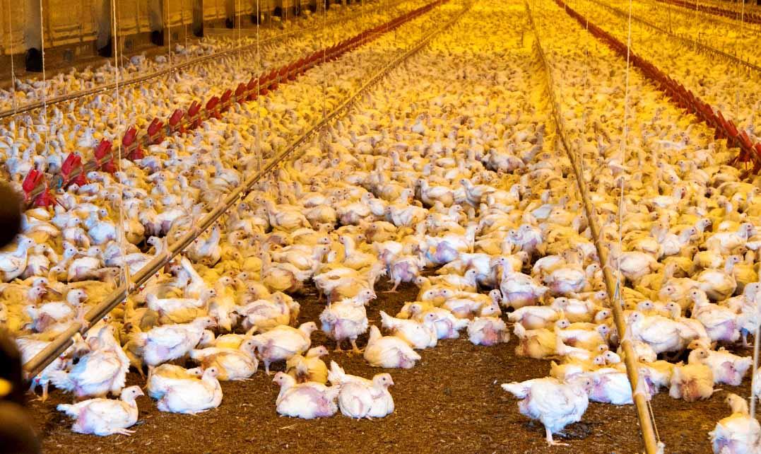 Proponen bajar el IVA a la carne de pollo y cerdo y subir los impuestos a los energizantes